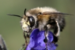 Anthophora plumipes_Hans-Juergen Sessner
